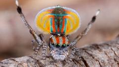 عنكبوت-طاووسي